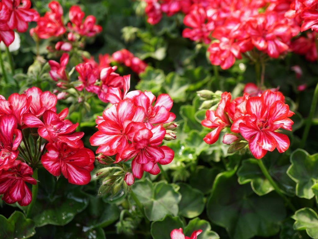 בלוג מרפסות יפות פרח הגרניום